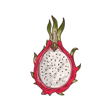 Dragon fruit pitaya isolated sketch. Vector half of pithaya, exotic tropical dragonfruit dessert