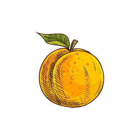 Apricot or peach isolated summer berry sketch. Vector juicy fruit with leaf Иллюстрация