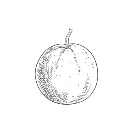 Orange tropical fruit. Vector exotic orange or tangerine citrus fruit sketch 向量圖像