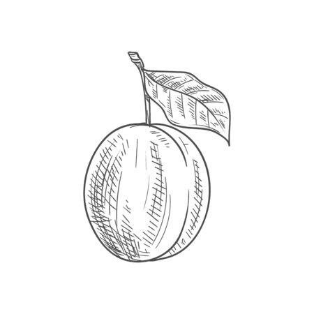 Fresh juicy plum fruit sketch isolated on white background Иллюстрация