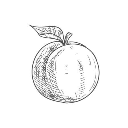 Apricot fruit sketch. Vector isolated organic natural apricot fruit
