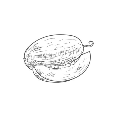 Ripe tropical sweet melon fruit isolated sketch  イラスト・ベクター素材