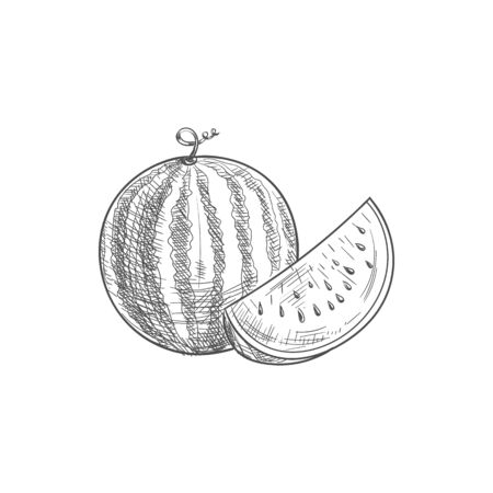 Ripe striped watermelon and piece fruit isolated sketch 向量圖像