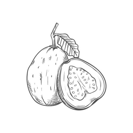 Tropical fruit guava whole, half isolated sketch. Vector edible tropical fruit, exotic food dessert