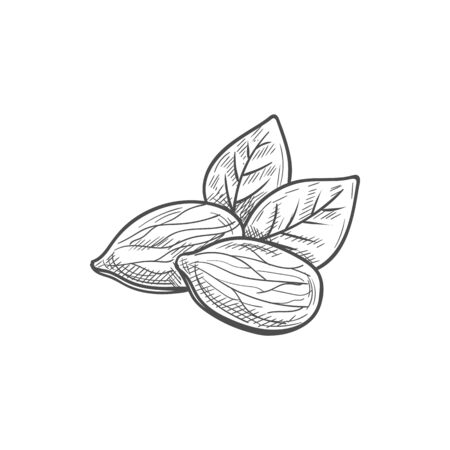 Shelled almond seeds isolated drupes of fruit with green leaves sketch.Vector shelled drupes of fruits