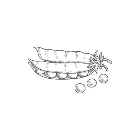 Seeds and pea pods isolated green legume sketch. Vector vegetarian food, beans and grains  イラスト・ベクター素材