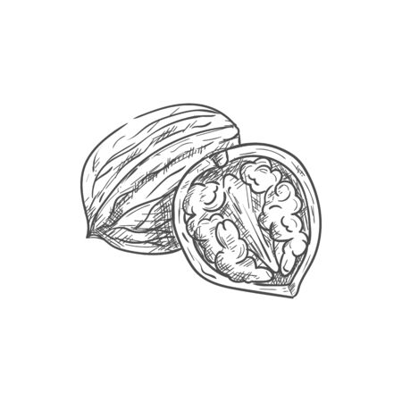 Walnut in nutshell and open with kernel isolated sketch. Vector drupe edible seed in nut, food snack