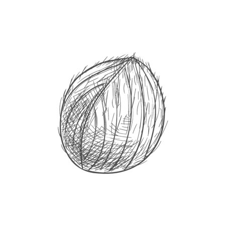 Whole coconut fruit in hard shell isolated exotic food sketch. Vector tropical palm tree nut, oil and milk ingredient