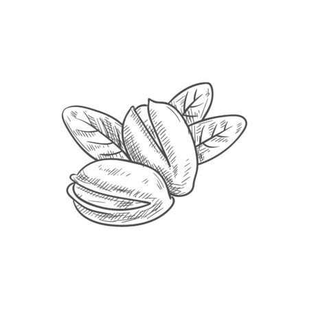 Peeled pistachio nuts, in hard shell and with leaves isolated sketch. Vector vegetarian food snacks