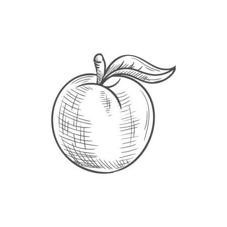 Aprikose oder Pfirsich isolierte Sommerbeerenskizze. Vektor saftige Frucht mit Blatt