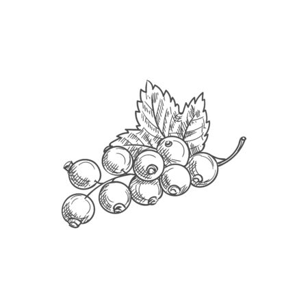 Black currant fruit isolated berries and leaves. Vector blackcurrant food dessert, green leaf Ilustração