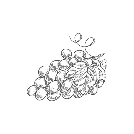 Grapes cluster isolated berries and leaves. vector bunch of grape fruits, purple berry