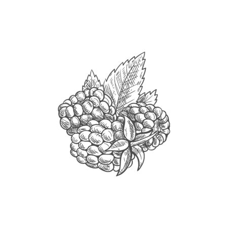 Raspberries and green leaves isolated sketch. Vector red berry dewberry or brambleberry 일러스트