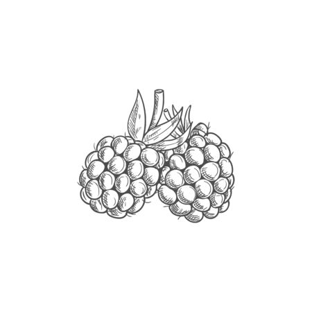Garden bramble berry isolated summer fruit sketch. Vector blackberry food, forest berries