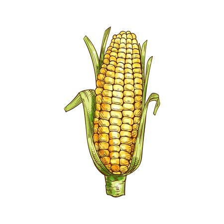 Maize cereal grain vector isolated corn cob sketch. Vector sweetcorn with green leaves