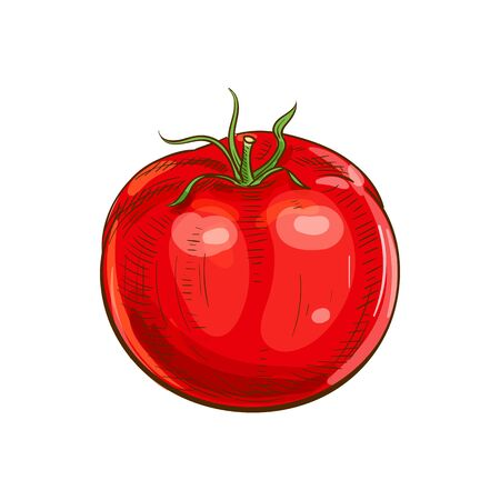 Tomato isolated red organic vegetable sketch. Vector tomato cherry berry, dieting food