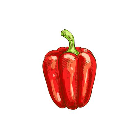 Sweet red capsicum isolated sketch. Vector bulgarian bell pepper, fresh vegetable