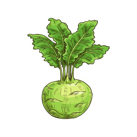 Turnip-shaped green cabbage kohlrabi with green leaves isolated sketch. Vector raw root, vegetable food Çizim
