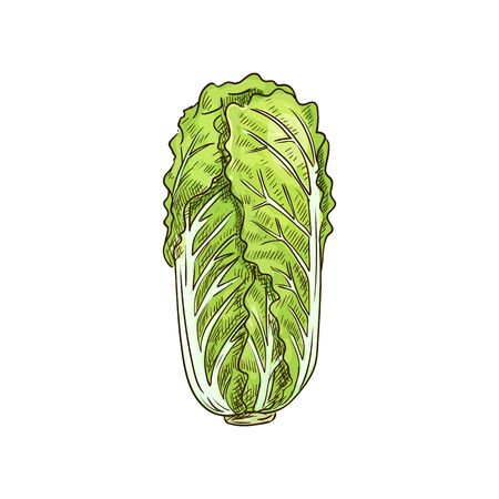 Peking cabbage isolated green leafy vegetable sketch. Vector nappa or Romaine lettuce, chinese cabbage