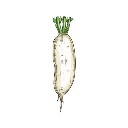 Daikon radish isolated white vegetable root. Vector fresh veggie with green stem, organic food