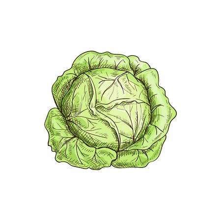 Green leafy cabbage head isolated vegetable. Vector headed cabbage, raw vegetarian food Çizim
