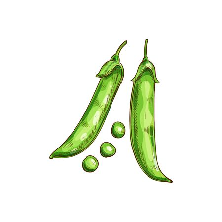 Peas seeds in green pods isolated legumes sketch. Vector beans and grains, vegetarian food Vectores