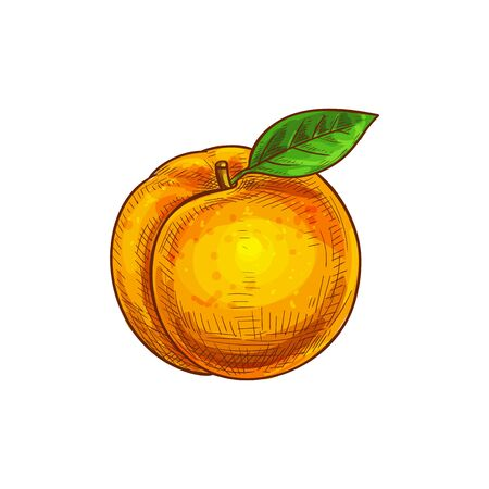Orange apricot or peach with green leaf isolated sketch. Vector ripe summer fruit dessert