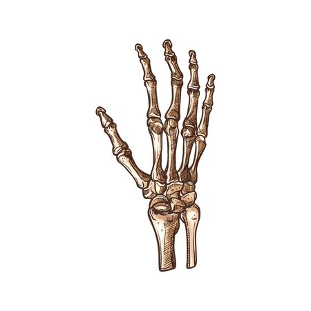 Le ossa carpali hanno isolato lo schizzo dello scheletro del polso umano. Carpo vettoriale che collega la mano all'avambraccio