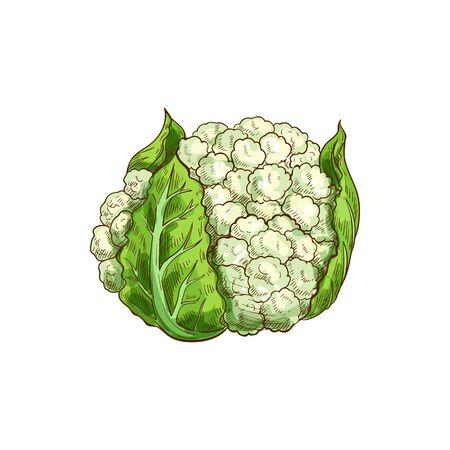 Chou-fleur végétal isolé chou-fleur. Boutons de fleurs blanches de vecteur en tête de chou Vecteurs