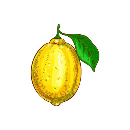 Whole one lemon with green leaf isolated sketch. Vector ripe citrus sour fruit