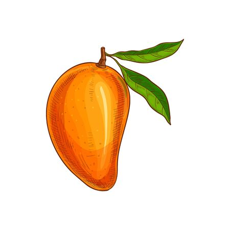 Whole exotic mango fruit with green leaf isolated sketch. Vector tropical food, stone fruit  イラスト・ベクター素材