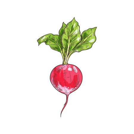 Root radish vegetable with green leaves isolated. Vector vegetarian food, pink root sketch