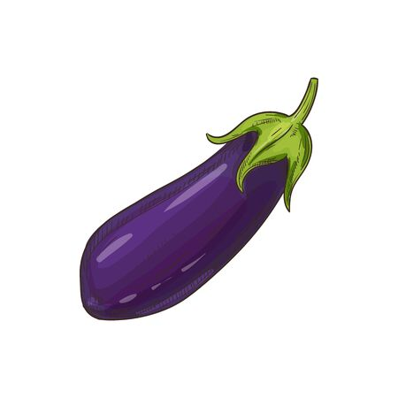 Aubergine vegetable, eggplant isolated sketch. Vector purple vegetable, whole brinjal edible fruit