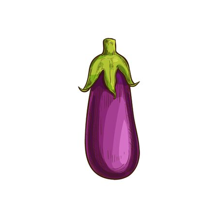 Aubergine vegetable, eggplant isolated sketch. Vector purple vegetable, whole brinjal edible fruit
