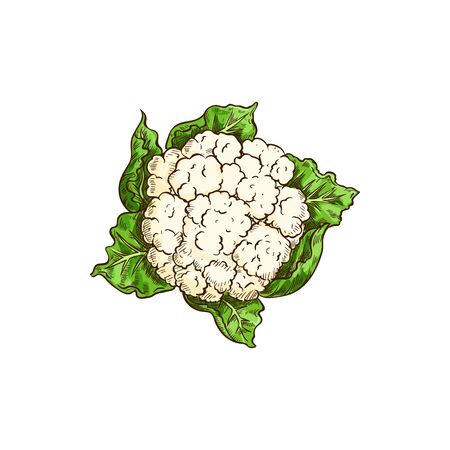 Vegetable cauliflower isolated leafy cabbage. Vector white flower buds in cabbage head