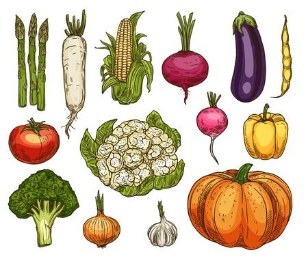 Vegetable sketches, isolated vector daikon radish, asparagus and corn, beetroot and eggplant, tomato and cauliflower, yellow pepper and broccoli, onion, garlic, pumpkin and beans veggie
