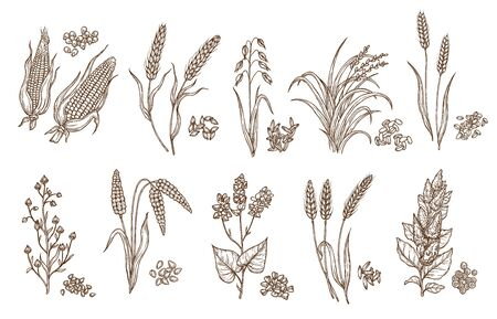 Cereal grain and plant isolated sketches of agriculture harvest and food vector design. Seeds of wheat, oat, barley and corn, rice, buckwheat, rye, quinoa and sorghum with ears, maize kernels and husk Vektorové ilustrace