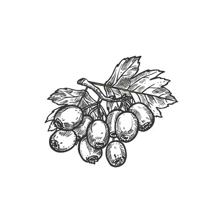 Hawthorn berries with leaves isolated crataegus hand drawn sketch. Vector fruit of whitethorn tree branch. Quickthorn or thornapple, may-tree. Ripe hawberry branch with berry and leaf, herbal medicine 일러스트