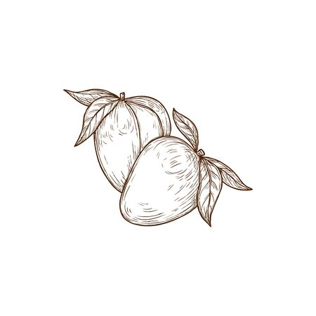 Pair of exotic mango fruits with leaves isolated sketch. Vector tropical food, stone fruit organic nutrition sweet dessert. Hand drawn mango fruits, healthy pencil drawing summer food snack