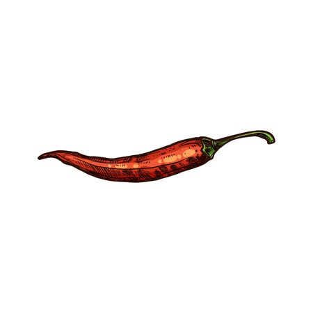 Spicy chili pepper isolated red hot chilli sketch. Vector cayenne long Nahuatl chilli, Thai pepper or African birdseye hand drawn. Spicy food ingredient. Seasoning condiment, vegetarian food