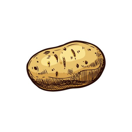 Potato tuber isolated vegetable root hand drawn sketch. Vector young or old potato, uncooked raw vegetarian organic food. Starchy tuber of plant Solanum tuberosum, brown sweet bulbous potato