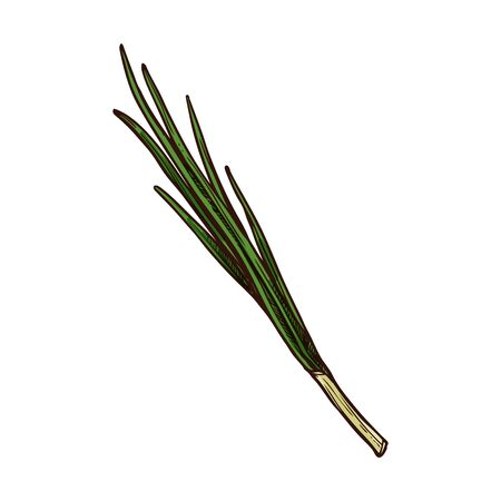 Scallion, young spring onion isolated green plant. Raw organic vegetable, vector shallot leaves. Young leek hand drawn sketch, veggie food. Flavoring vegetarian food, aromatic spicy chive greens 向量圖像