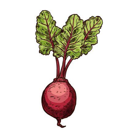 Beetroot vegetable with green leaves isolated sketch. Vector whole beet root, hand drawn food ingredient. Red sugar dinner beetroot, fresh veggies, edible taproot vegetable, table garden beet