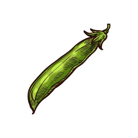 Closed pea pods isolated green legume hand drawn sketch. Vector fresh veggies, vegetarian food closed pea-pod. Edible beans of pigeonpea and cowpea in peapod. Raw cereal grains, dieting plant