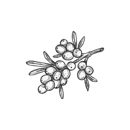 Sea buckthorn berry isolated sketch icon. Vector botanical hippophae berries or fruits on branch, sandthorn, sallowthorn or seaberry. Sea-buckthorn food, traditional medicine, and skin treatment
