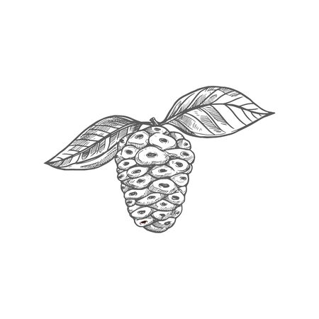 Great morinda isolated Indian mulberry berry with leaves monochrome icon. Vector noni beach mulberry, cheese fruit. Morinda citrifolia hand drawn sketch, vegetarian tropical exotic food