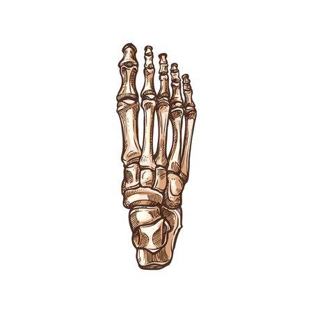 Foot bones skeleton isolated sketch. Vector detailed human anatomy, metatarsal and tarsal bones