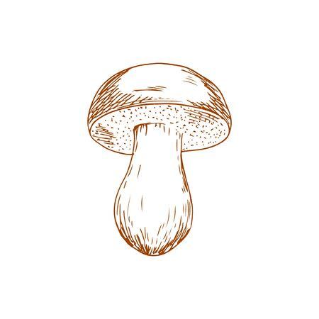 Edible mushroom isolated Boletus barrowsii fungi. Vector fungi food, veggie with thick cap and leg Illustration