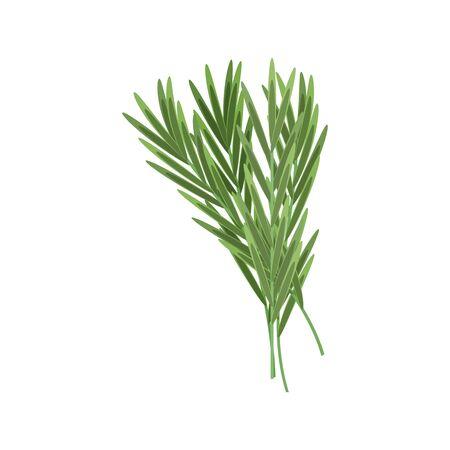 Rosemary or tarragon, lemongrass isolated green herb. Vector citronella plant leaf, herbal seasoning
