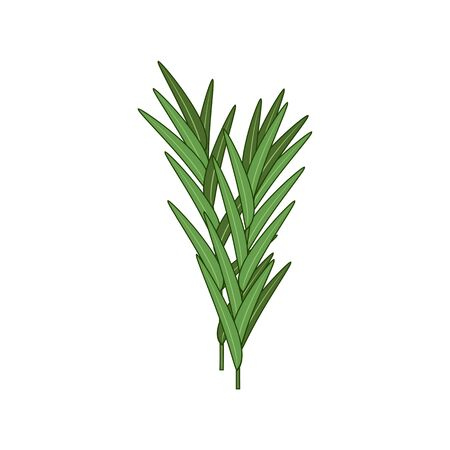 Tarragon spice herb isolated natural food seasoning. Vector citronella grass or thyme herbal plant